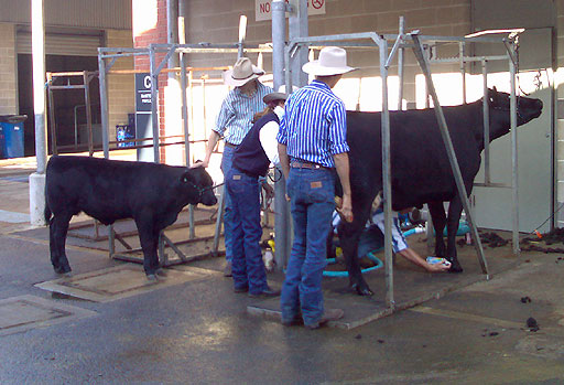 Cattle Washing