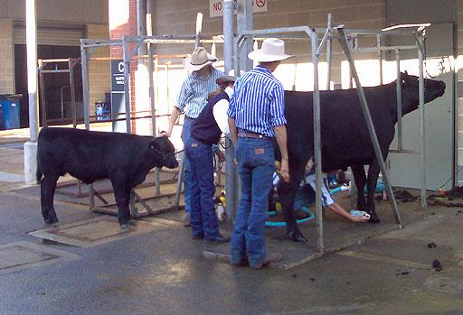 Cattle Washing