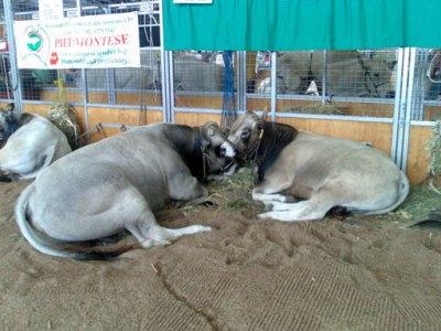Retiring Cattle