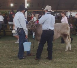 Cattle Judging at the Royal Easter Show