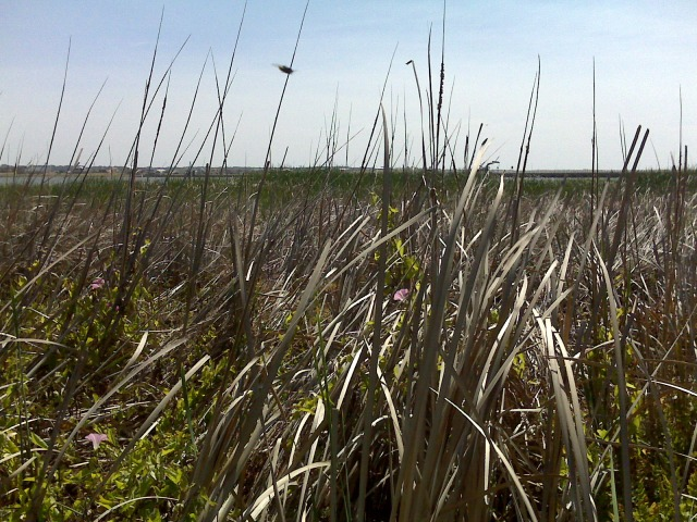 Rushes near where salt meets freshwater at the Murray
