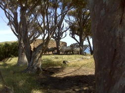 Cattle at a deserted house on the way to Myponga Beach