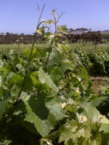 Vines at Tapestry Vineyard
