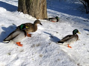 Ducks near the river in Norrkoping