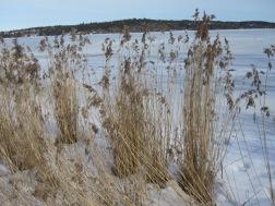 Reeds in the frozen water
