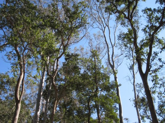Gorgeous tall trees in a state forest are the Gympie Muster setting