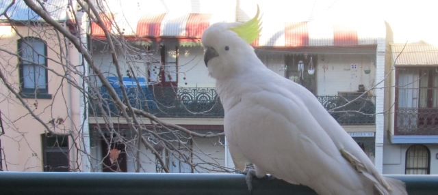 Cockatoo on my balcony