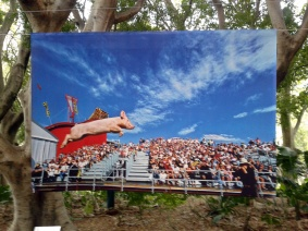 Just Maybe They Do - Barry Slade - A pig sky dives into open air during the pig racing and diving show at Sydney's Royal Easter Show.