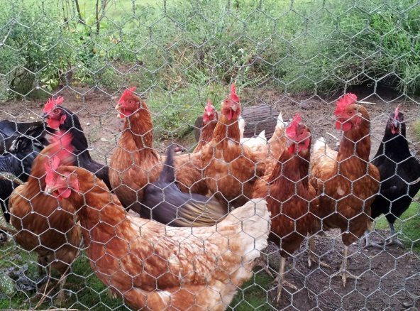 Chatting with the chooks