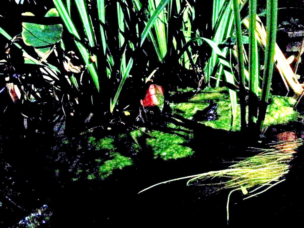 The Motorbike Frog in the backyard pond of Damian and Kate