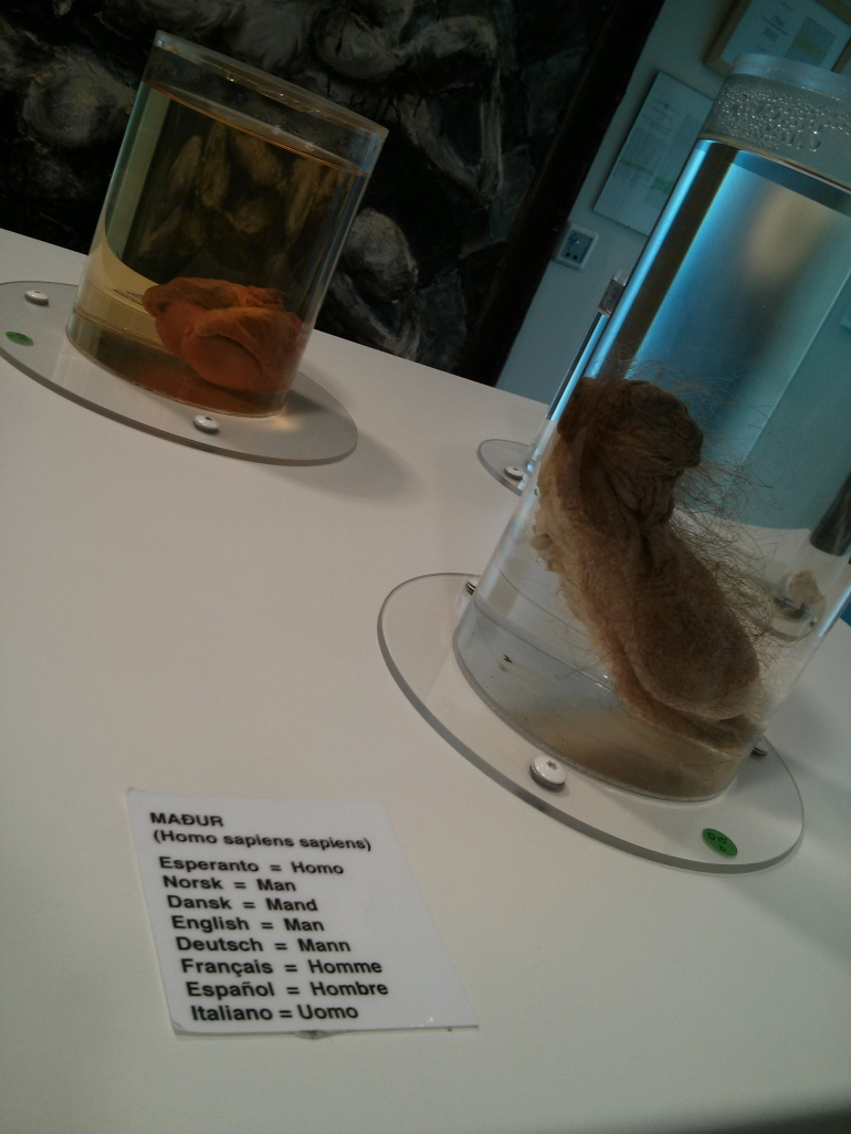 Human penis at the Icelandic Phallological Museum