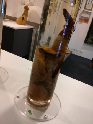 Reindeer penis at the Icelandic Phallological Museum