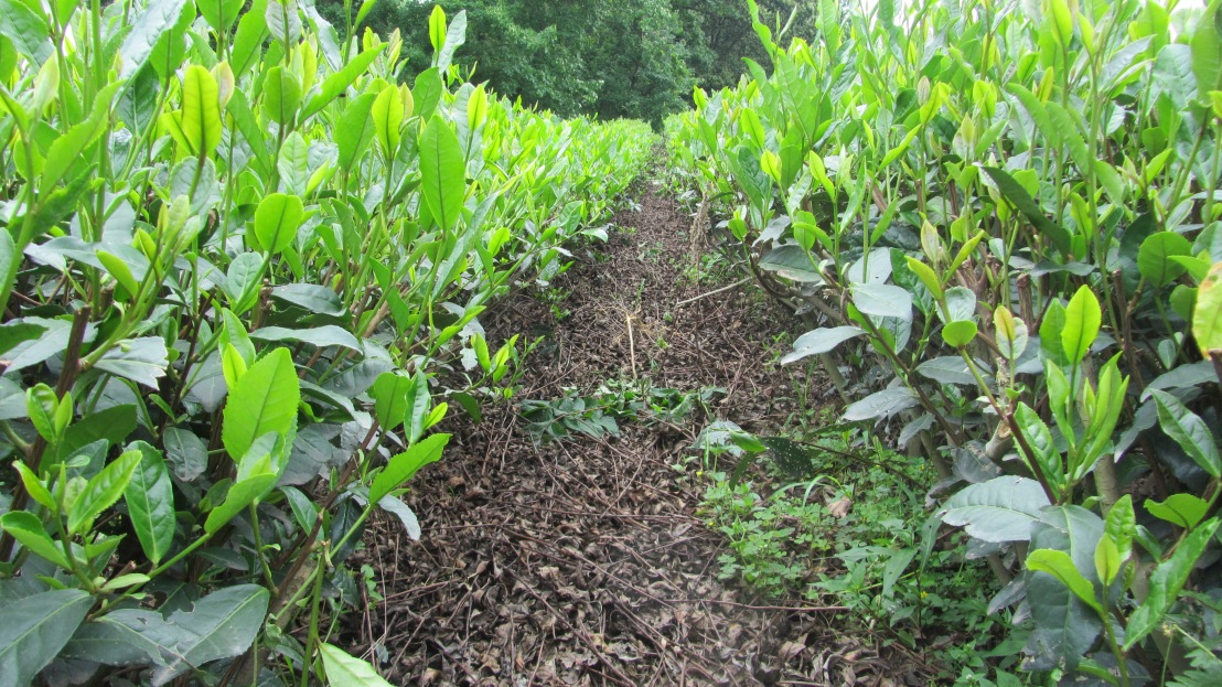 China – TeaPlantation
