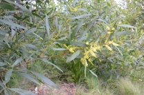 Wattle at Barangaroo Reserve