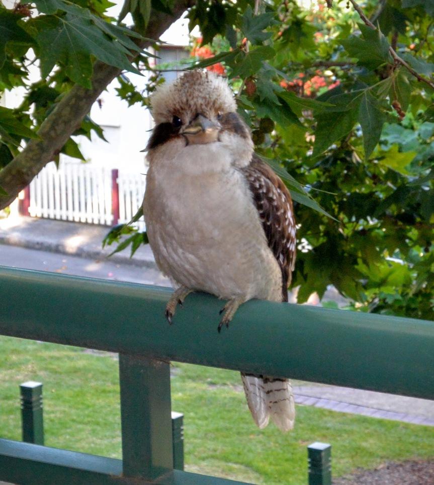 kookaburra2
