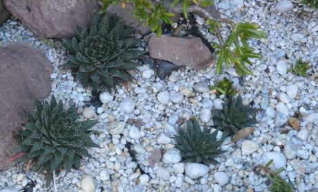 Succulent / cactus in Raper Street, Surry Hills