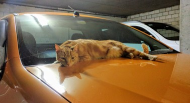 "This is ""Biscuit"", our apartment block's ""collective cat"". Orange is the new cat."