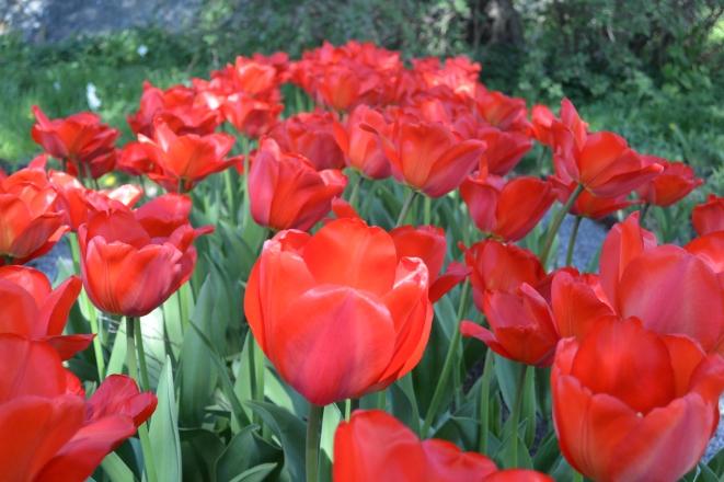 Waldemarsudde Tulips