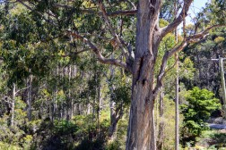 Eucalypts on Bruny Island